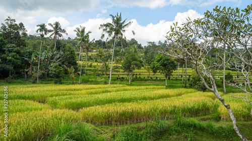 Foto op Aluminium Indonesië BALI, INDONESIA - 15TH JUNE 2015; Green rice fields on Bali island near Ubud, Indonesia.