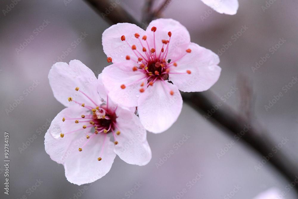 Kwiat jabłoni - obrazy, fototapety, plakaty