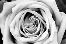 Rose Petal Texture Black And W...