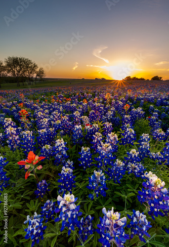 Poster Texas Texas bluebonnet and indian paintbrush filed in sunset