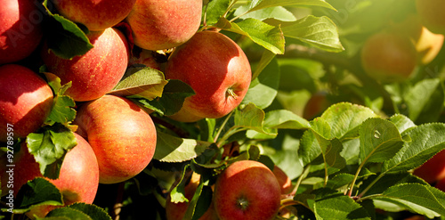 Fotografie, Obraz  outdoor shot containing a bunch of red apples on a branch ready