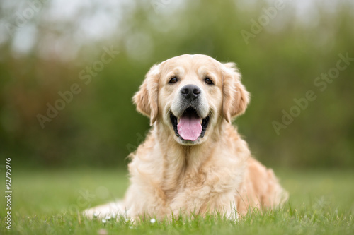 Golden Retriever dog outdoors in nature Canvas Print