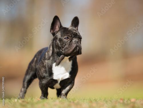 Deurstickers Franse bulldog French bulldog outdoors in nature