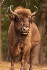 Fototapeta Zwierzęta Żubr z puszczy Białowieskiej głowa