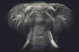Fototapeta Zwierzęta - Elephant close up. Monochrome portrait