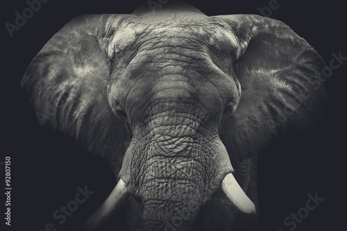 Photo  Elephant close up. Monochrome portrait