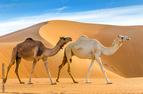 Fotobehang Kameel Camels walking through a desert, taken in the Liwa Oasis, Abu Dhabi area, United Arab Emirates