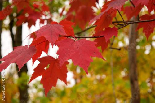 Fotografie, Obraz  Red Maple (Acer rubrum) Leaves in Fall