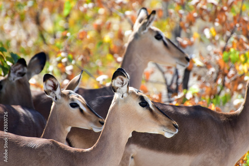 Poster Antilope Springbok in Etosha National Park