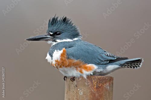 Valokuvatapetti Female Belted Kingfisher
