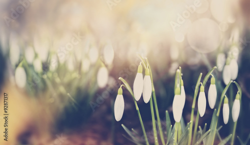 Poster Printemps Snowdrops blossom over park or garden nature background, matte toned