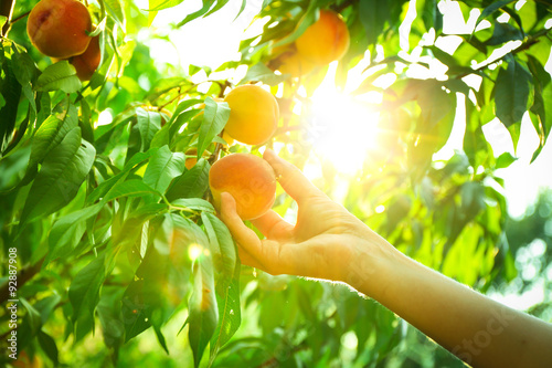 Female hand picking peach from tree Fototapeta