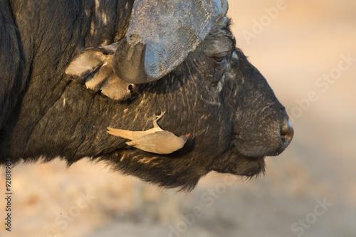 Foto op Plexiglas Alpinisme Cape buffalo