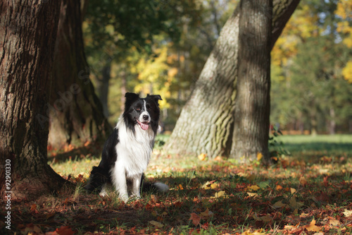 Dog breed Border Collie walking in autumn park Fotobehang