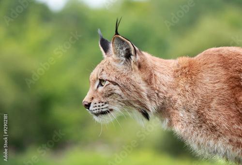 Foto op Plexiglas Lynx lynx roux