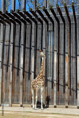 Giraffe au zoo du parc de Lyon Poster