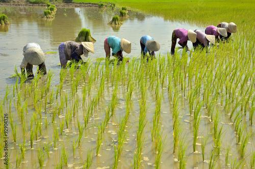 Fotografia The women working on paddy rice fields