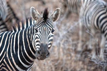 Fototapeta na wymiar zebra in south africa