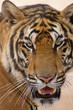 Tygrys w świątyni tygrysów