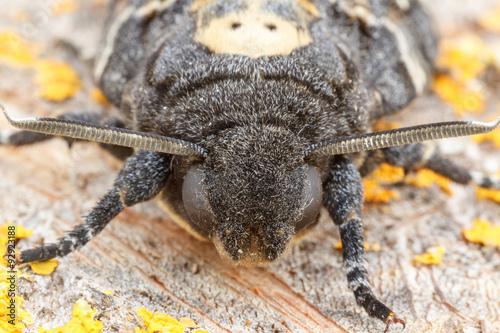 Photo Acherontia atropos