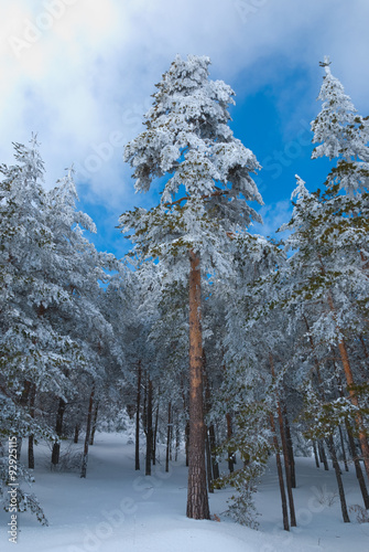Fotografie, Obraz  Scots pine forest covered in snow in winter