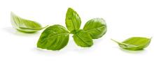 Green Leaves Of Basil