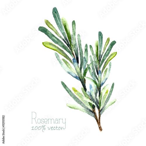 Fotografie, Obraz  Watercolor vector rosemary