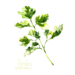 Fototapeta Przyprawy Watercolor branch of parsley.