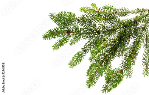 Láminas  Fir tree branch on a white background.