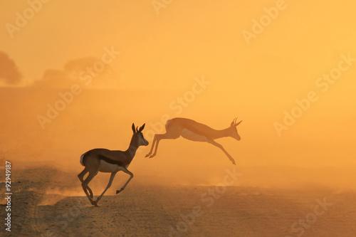 obraz dibond Springbok Antelope - Golden Sunset Wildlife Silhouettes