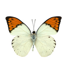 Great Orange Tip Butterfly Iso...