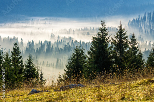 Fototapeten Wald coniferous forest in foggy Romanian mountains
