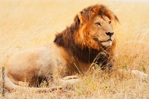 Foto op Plexiglas Leeuw Male lion in Masai Mara