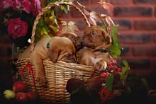 Group Bordeaux Puppy Dog Sitting In A Basket. Autumn Portrait