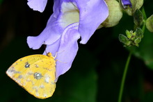 An Orange-barred Sulfur Lands In The Gardens For A Nectar Feast.