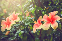 Pink Chinese Hibiscus ( Hibisc...