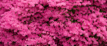 Panorama Of Pink Azaleas In Bl...