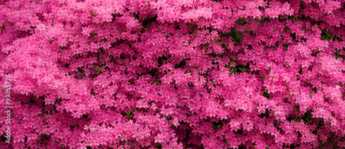 Fotobehang Azalea Panorama of Pink Azaleas in Bloom
