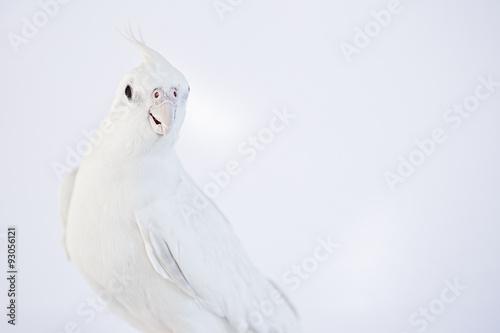 Valokuva  Pure white Cockatiel on white background, pet.