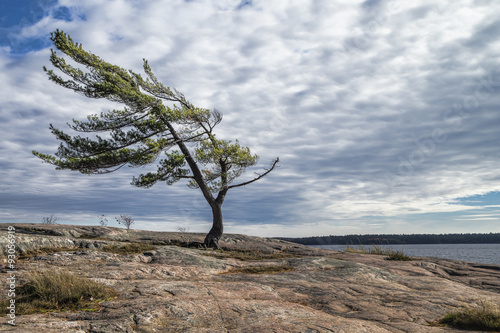 Wind Swept Tree on Georgian Bay, a Group Of Seven inspiration. Lerretsbilde