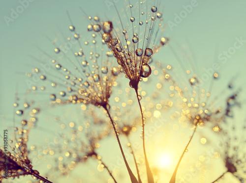Poster Pissenlit Dewy dandelion flower at sunset close up
