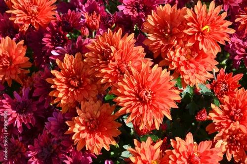 Papiers peints Azalea Herbstastern Chrysanthemen