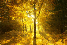 Magical Sunny Light In Golden Color Autumn Season Forest Landscape. Beautiful Sunny Bright Forest Tree With Gold Colored Leaves.
