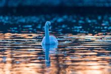 Schwan Spiegelt Sich Im Goldenen Sonnenuntergang
