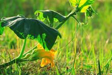 Green Shoots And Flowers Of Pumpkin