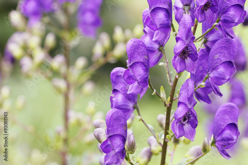 Photo Monkshood (Aconitum napellus) flower