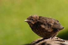 Young Blackbird Basking On Tree