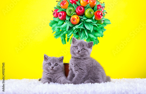 La pose en embrasure Jaune Beautiful stylish purebred british cat. Animal portrait. Purebred cat is lying. Yellow background. Colorful decorations