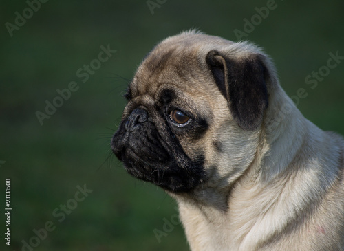 Portrait of a a male Pug puppy dog at local park, Liverpool