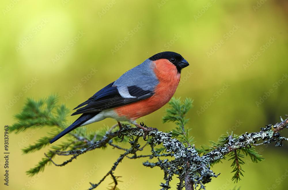 Photo  European Bullfinch